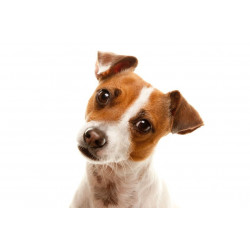 Sticker Chien Jack russell timide