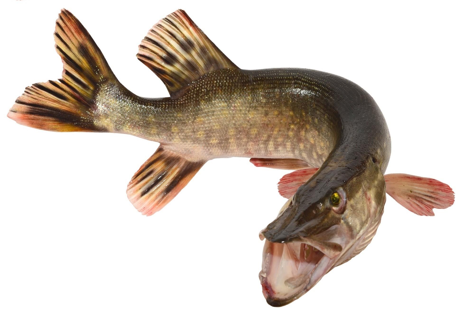sticker autocollant poisson brochet couleurs au choix