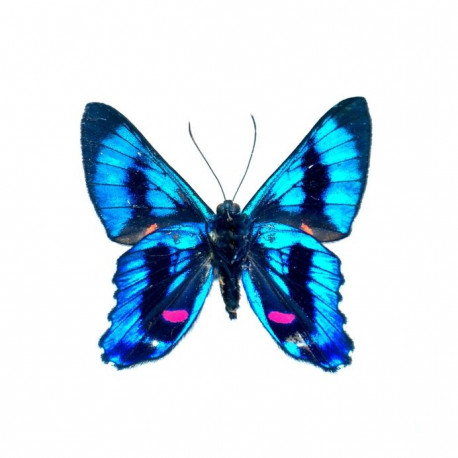 Sticker Papillon - bleu