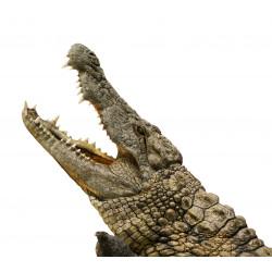 Autocollant Alligator