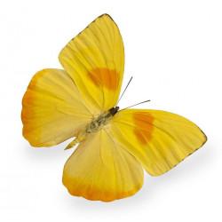 Papillon (REFM700)