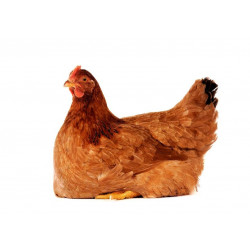 Sticker Poule rousse assise