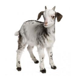 Bébé chèvre (REFM972)