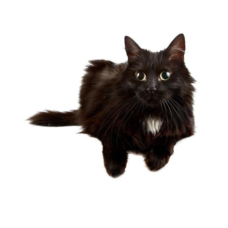 sticker mural chat noir univers animaux chiens et chats etiquette autocollant. Black Bedroom Furniture Sets. Home Design Ideas