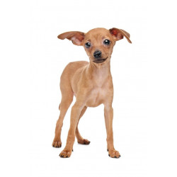 Sticker Chien Pinscher