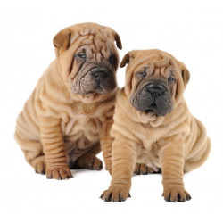 Sticker Chiots bulldog