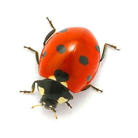 Stickers Coccinelle Insectes Pour Votre D 233 Coration